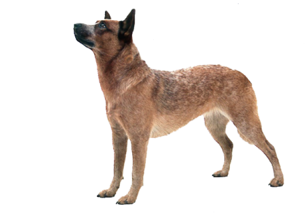 Country Dog Png