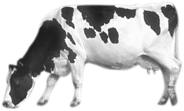 Cow Png Eating