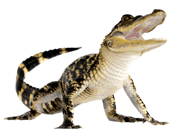 Crocodile Looking at you Png Image