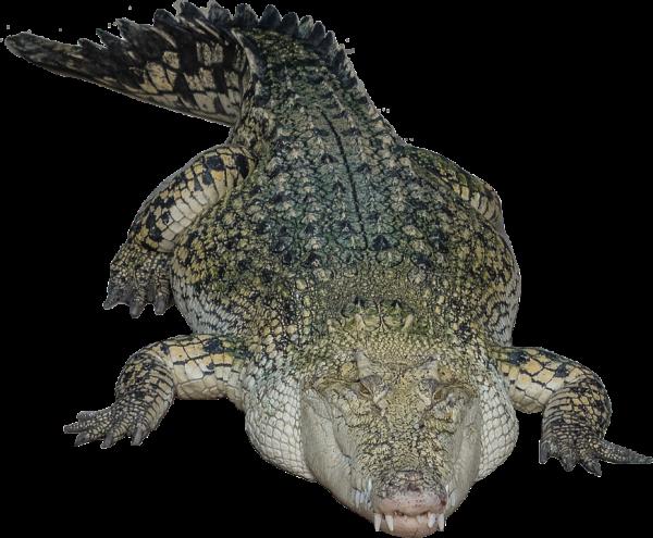 Crocodile Png Sleeping