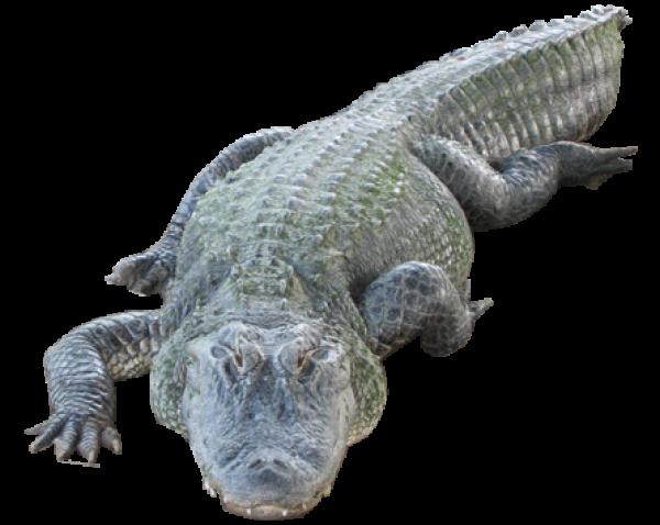 Crocodile Png walking