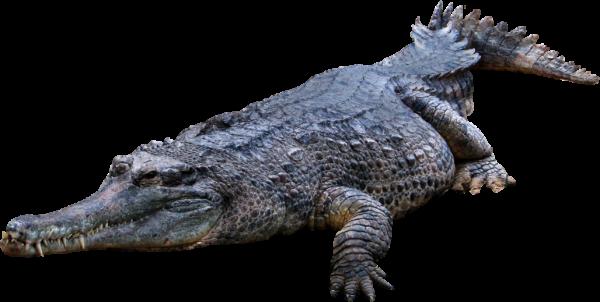 Crocodile Png Web Clipart