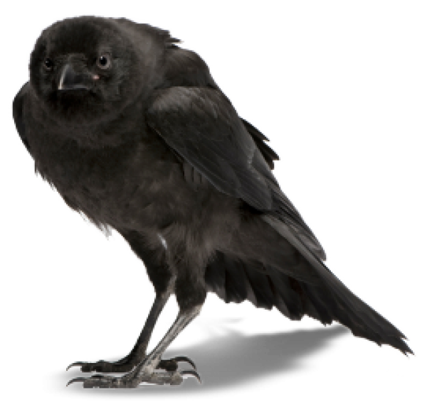 Crow Clipart Png