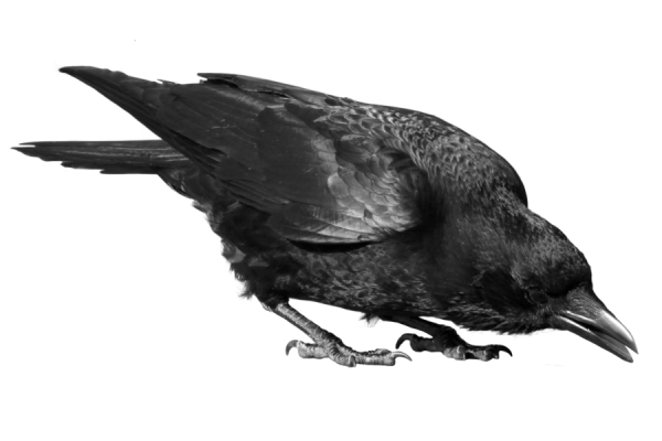 Crow Drinking Png