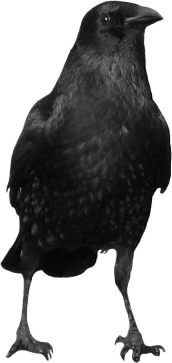 Crow Looking Png