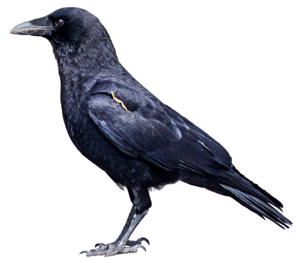 Crow Png Left Side View