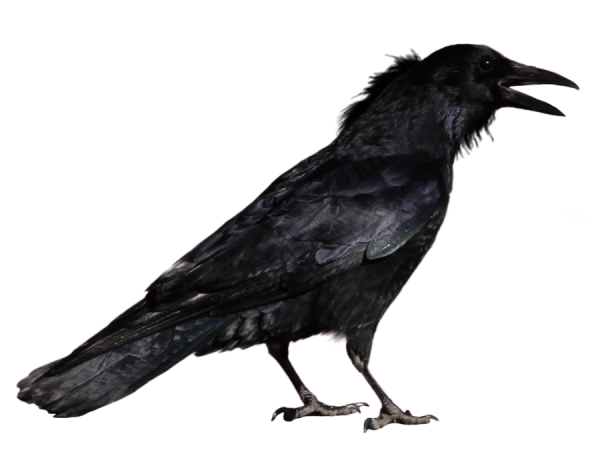 Crow Shouting Png