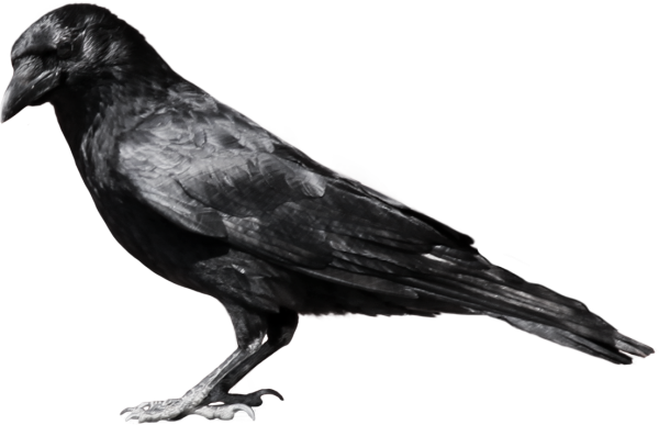 Crow Standing Png