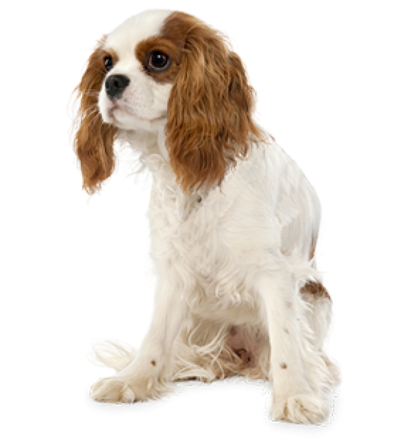 Cute Puppy Png