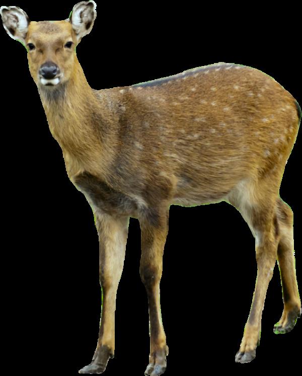 Deer Png Cute