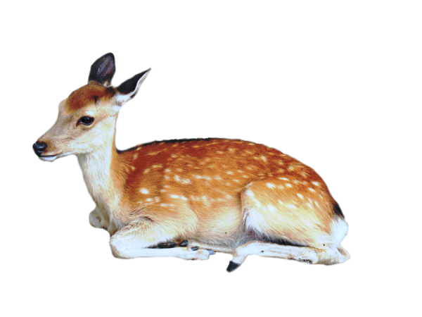 Deer Sitting Png