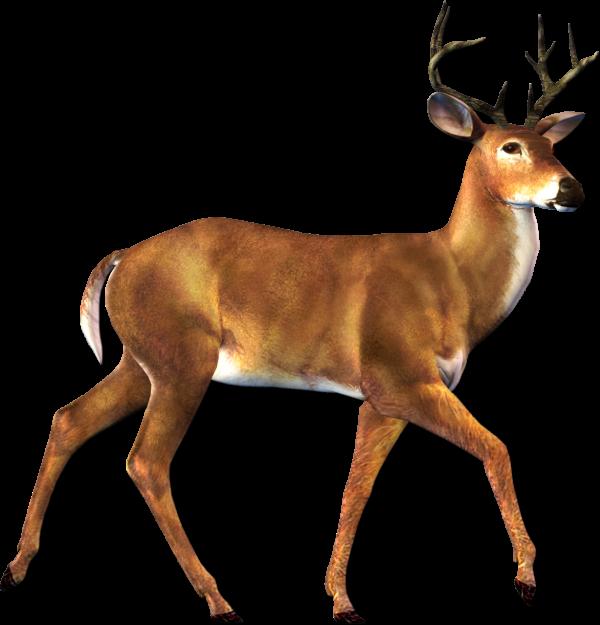 Deer Walking Png