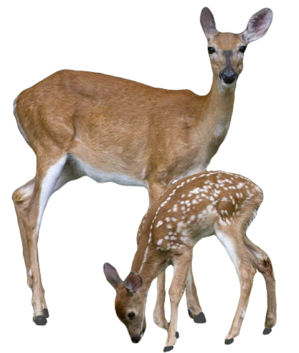 Deer With Cubs Png