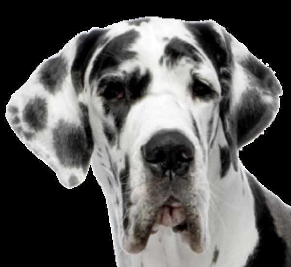 Dolmanian Dog Face Png