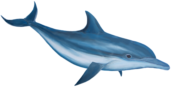 Dolphin Clipart Png