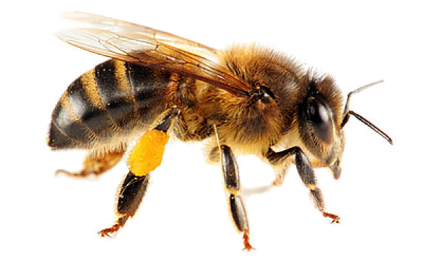 download free bee png