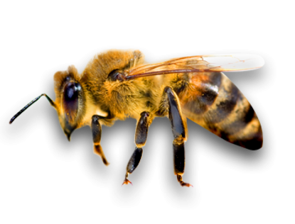download free png bee