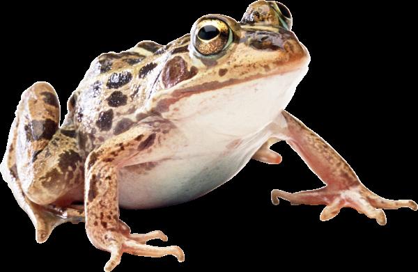download frog png free