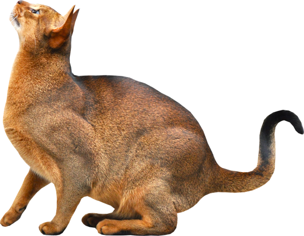 Forest Cat Png