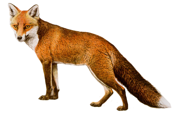 fox png download
