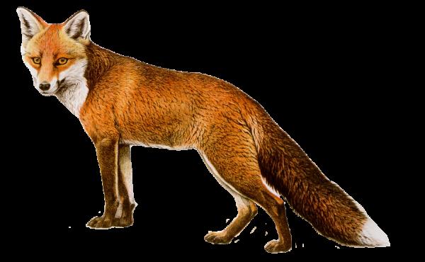 fox png download