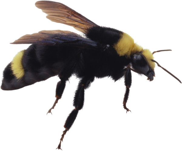 free bee png