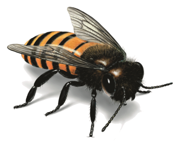 free download bee png