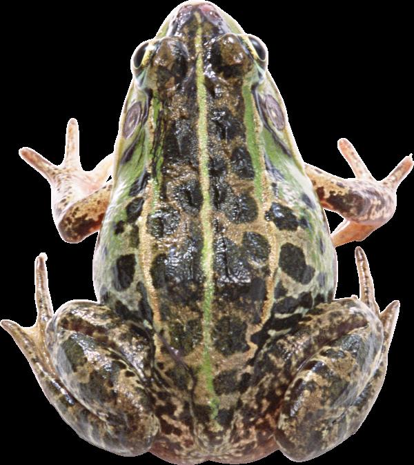 frog free download png