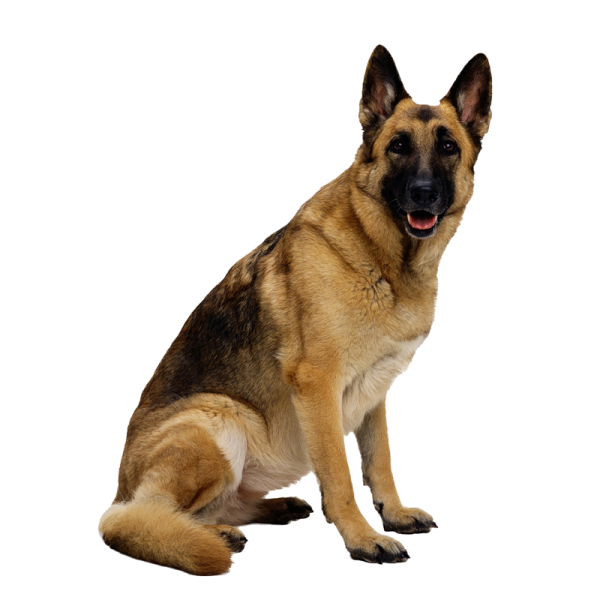 German Shephard Dog Png Image