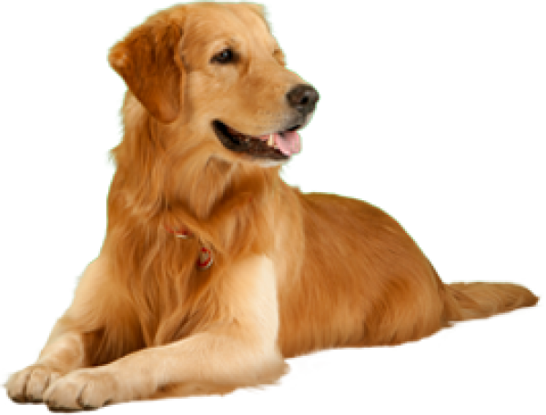 Golden Color Dog Png
