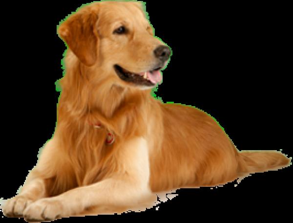 Golden Color Dog Png
