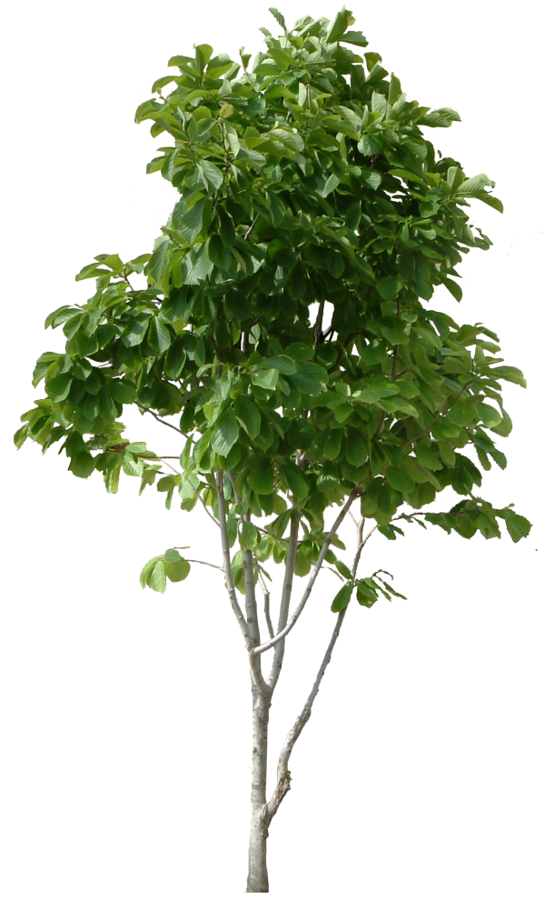 Guava Tree Png