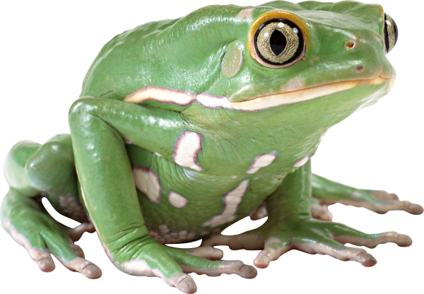 hd free frog png download