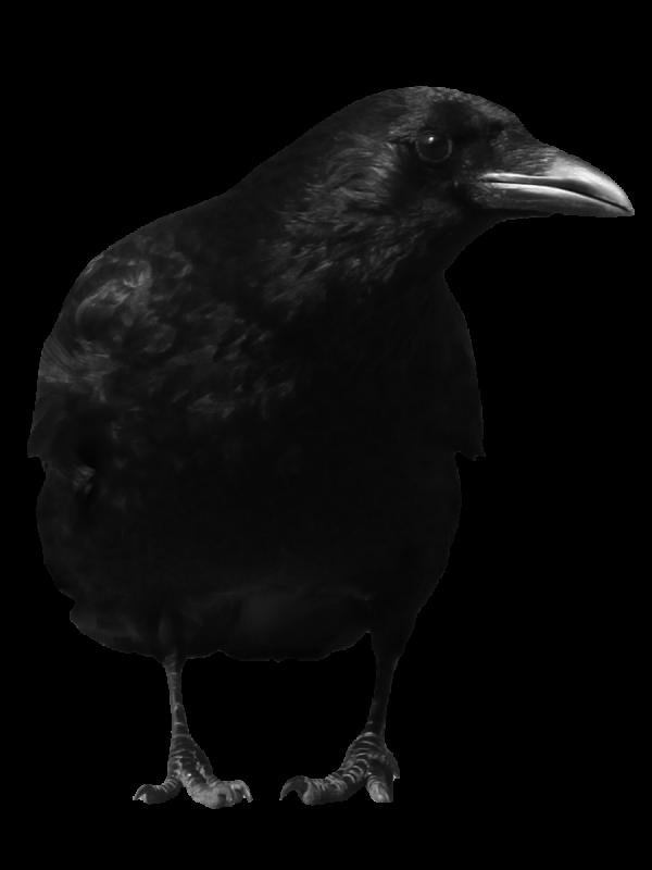 Looking Crow Png