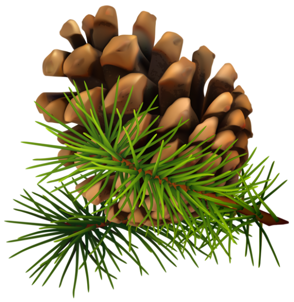 Pine Cone Drawing Image