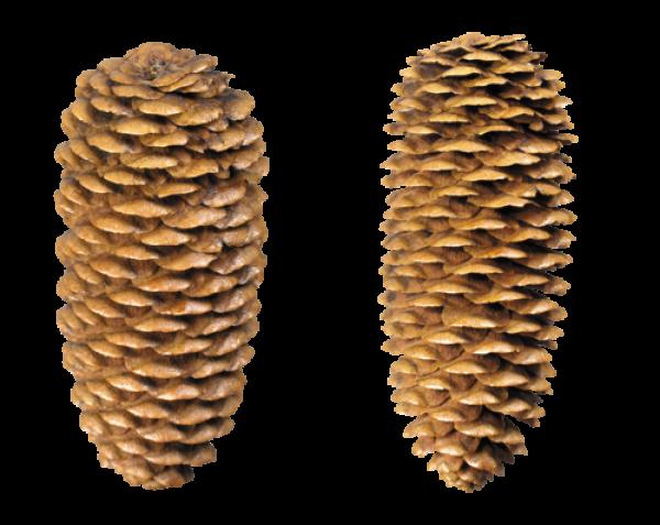 Pine Cone Free Png Doownload