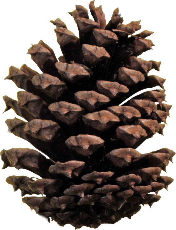 Pine Cone Png Clipart