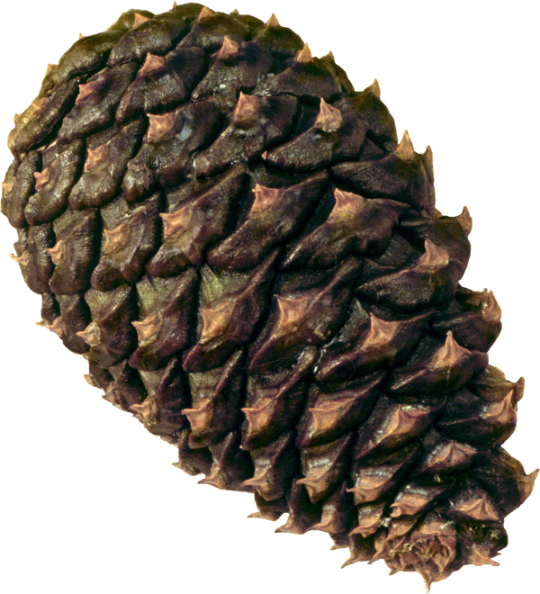 Pine Cone Png Free
