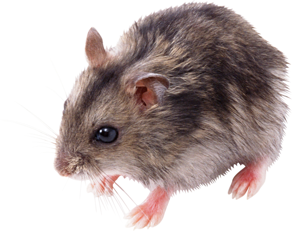 Rat Mouse Png Free Download 13 Png Images Download Rat Mouse Png Free Download 13 Pictures Download Rat Mouse Png Free Download 13 Png Vector Stock Images Free Png Download Are you searching for rat png images or vector? free png download