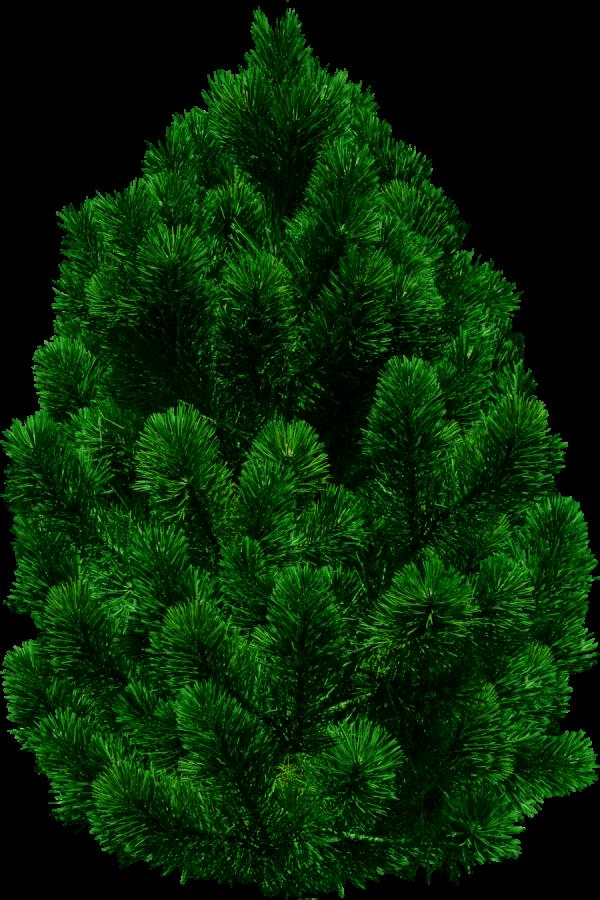 Real Christmas Tree Png