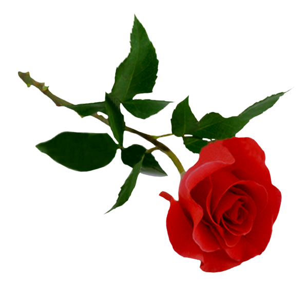 red rose with dark green leaves free png download