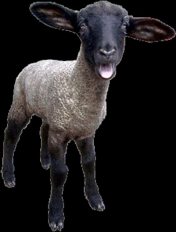 Sheep PNG Free Download 1
