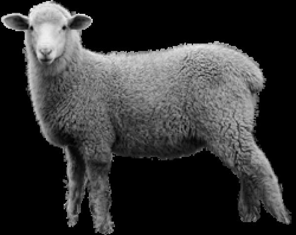 Sheep PNG Free Download 12