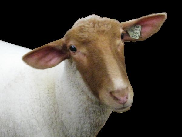Sheep PNG Free Download 14