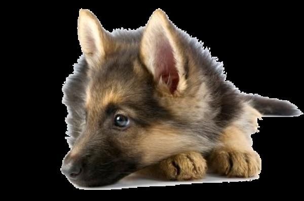 Shephard Dog Face Png Icon