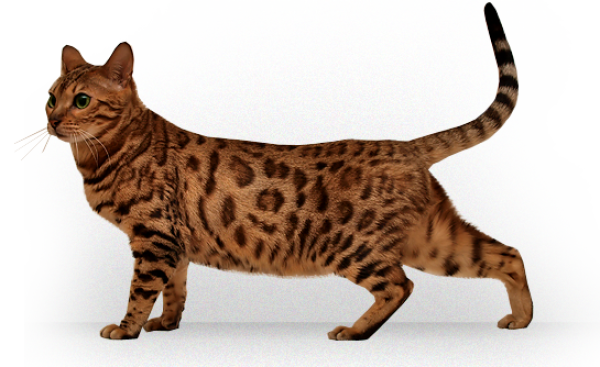 Tiger Cat Png