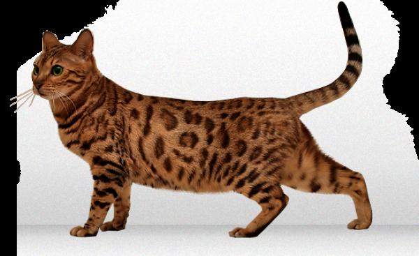 Tiger Cat Png
