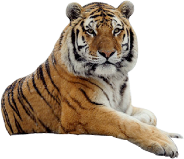 Tiger PNG Free Download 1