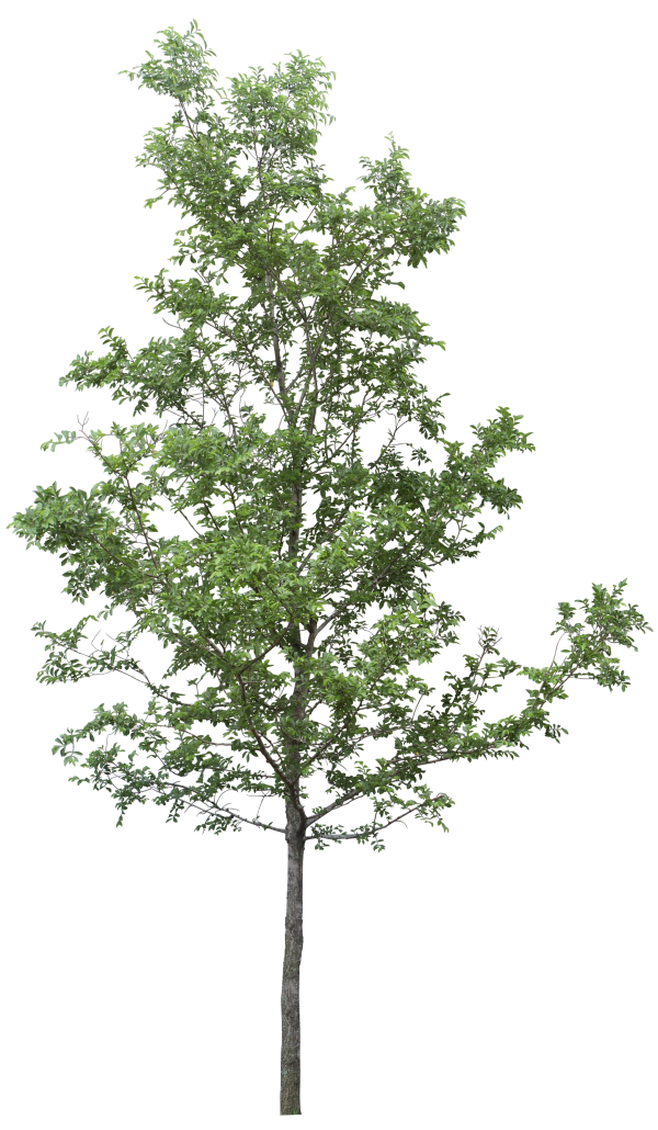 Tree Png Download