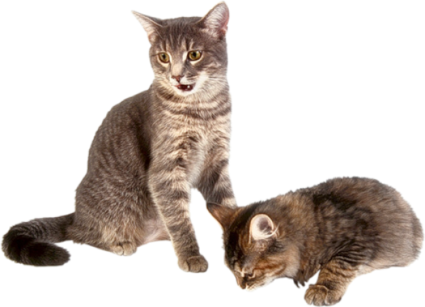 Two Cat Png
